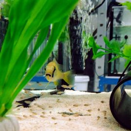 Our first cichlid fish (Astatotilapia calliptera) brood at the University of Cambridge.